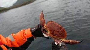 Crab safari in Lofoten