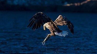 Eagle grabbing fish on eagle safari in Lofoten