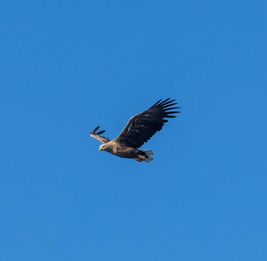 Eagle flying in Lofoten