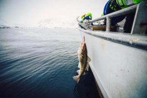 Fishing cod in Lofoten