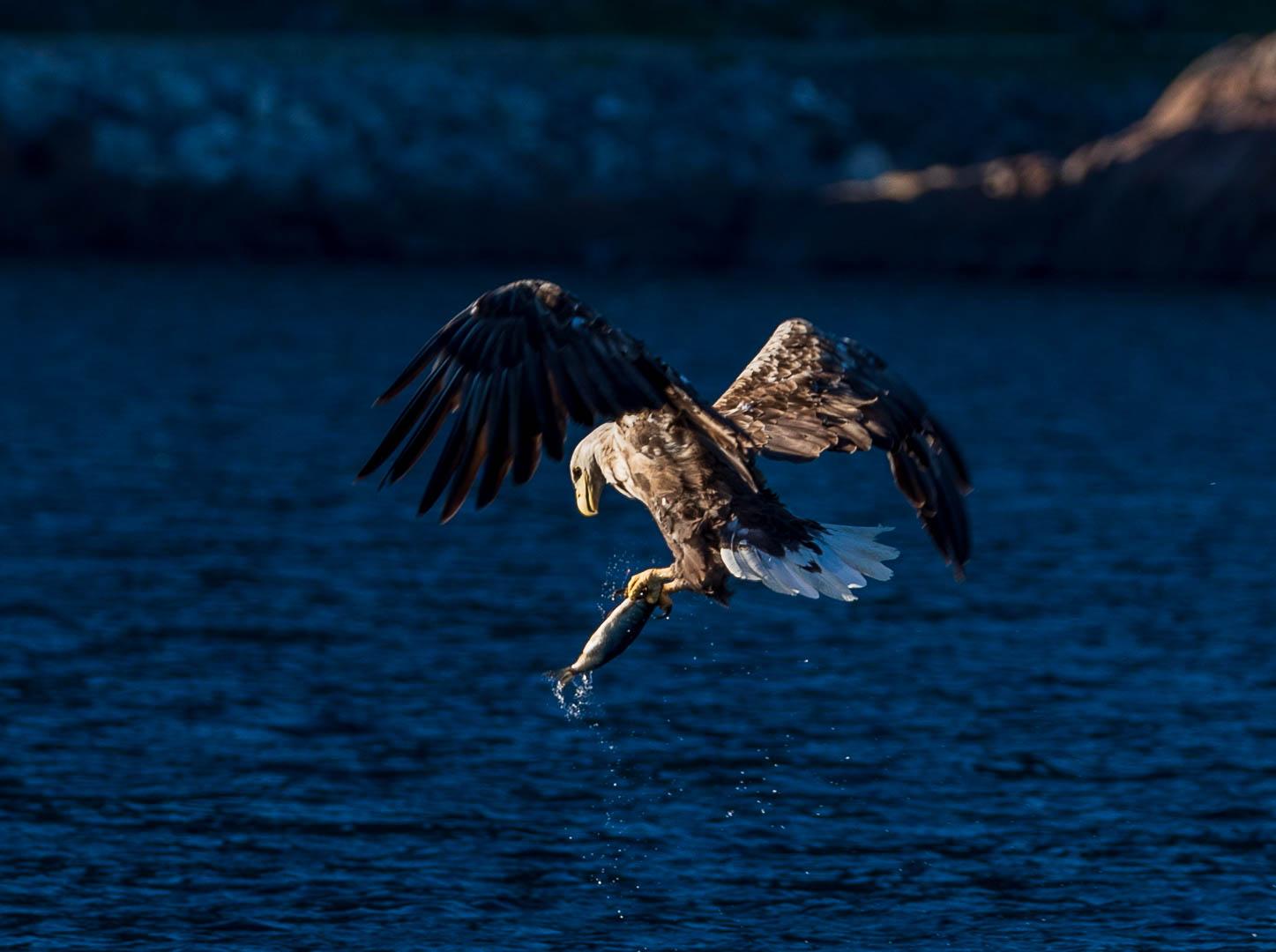 Eagle safari in Lofoten