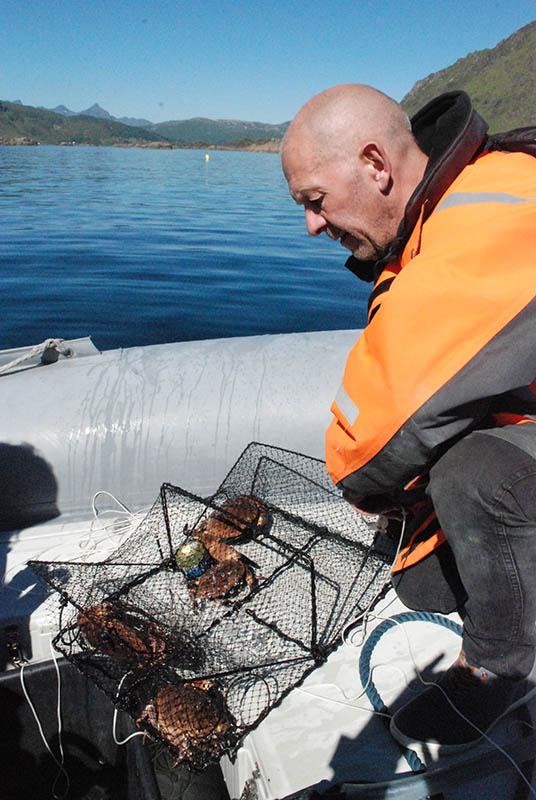 Pulling crab pot in Lofoten