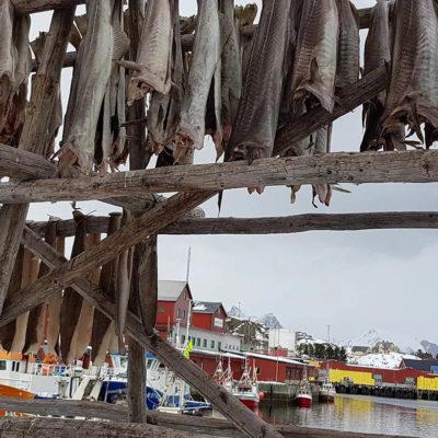 Stock fish in Lofoten